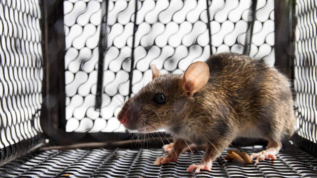 Rodent, Rodent Control in: Poughkeepsie, NY